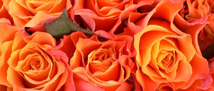 rose-day-your-first-step-to-love-week-orange-rose