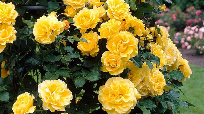 rose-day-your-first-step-to-love-week-yellow-rose